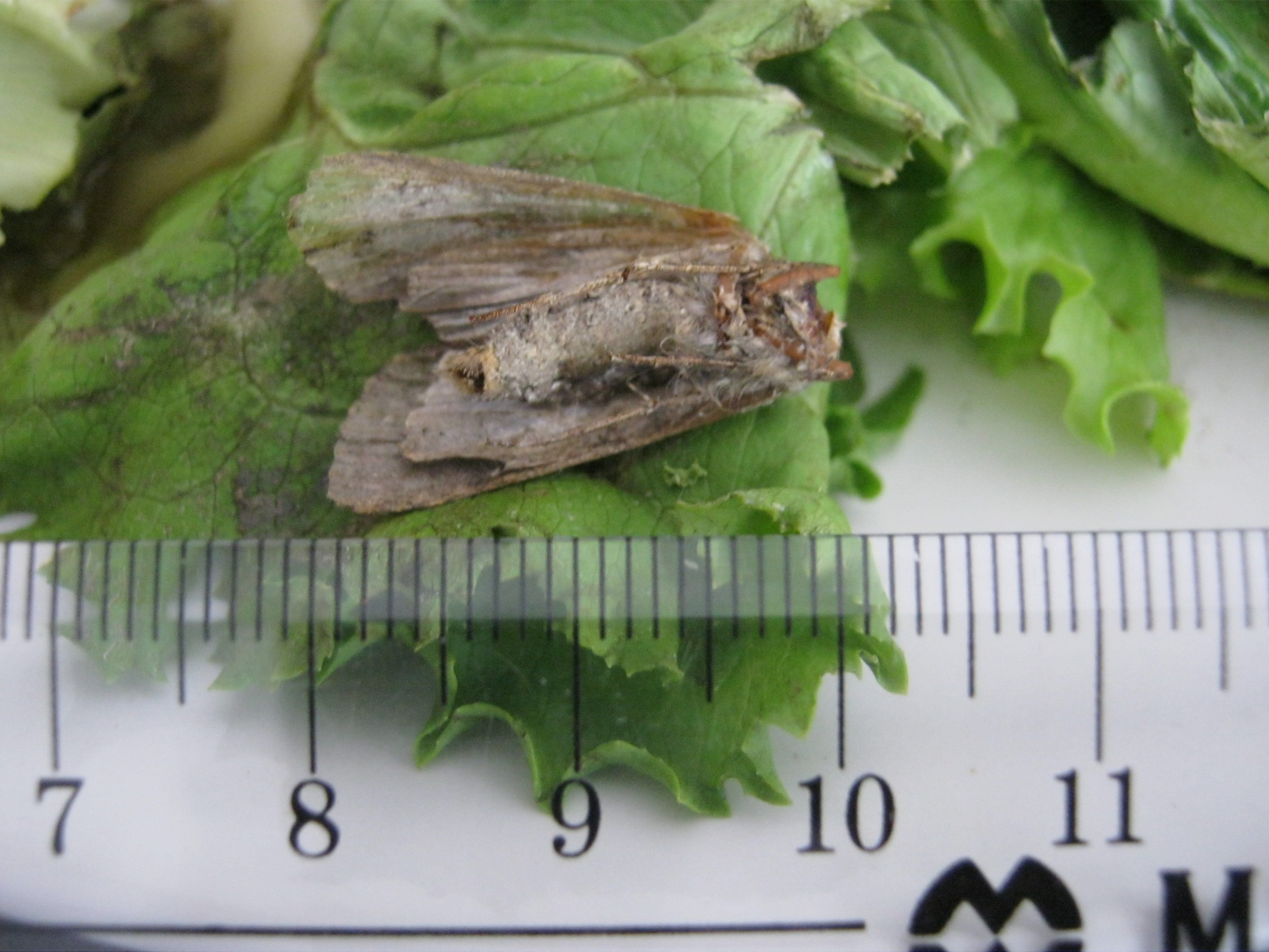 Dead moth found in ReadyPac salad